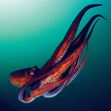 How the Freaky Octopus Can Help us Understand the Human Brain