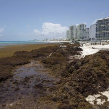 In the Caribbean, a stinking seaweed menace spurs invention