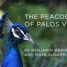The Peacocks of Palos Verdes