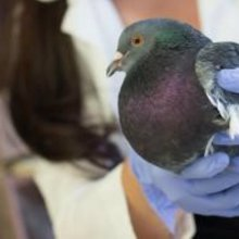 Pigeon 'Whisperers' Use Birds To Track Lead Pollution