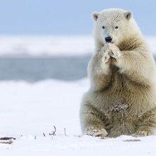 Polar bear says a prayer as photographer captures cute cub at play in Alaska