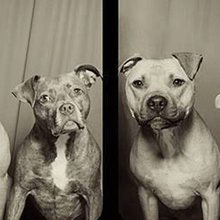 This Is What Happens When You Put Pit Bulls In A Photo Booth