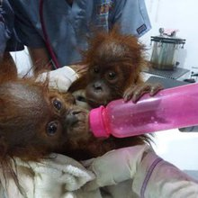 Rescue team in Sumatra confiscates another orangutan kept as a pet