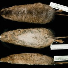 Found: 4 New Species of Gopher-Like Mammals