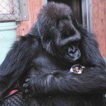 A kiss from Koko