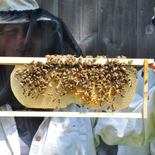 Bees in the hood: urban beekeeping in the Queen City