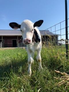 Cows at Rader Family Farms