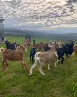 Goats at Rader Family Farms