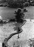 Rice Field, Koppa, Karnataka - T S Satyan - EDITIONS 24-Hour Auction