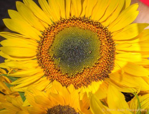 Sunflower_2015_DanielQuatPhotography_SantaFe_FarmersMarket_1
