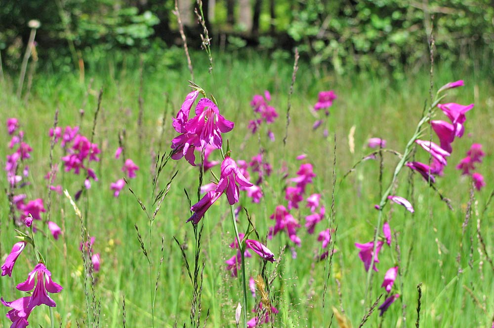 Blumen im Naturschutzgebiet Badenstubener Moore in Eurasburg