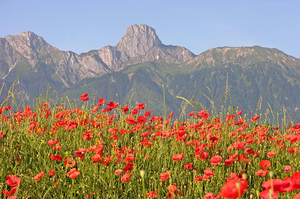 Blick auf das Stockhorn hinter einem blühenden Mohnfeld