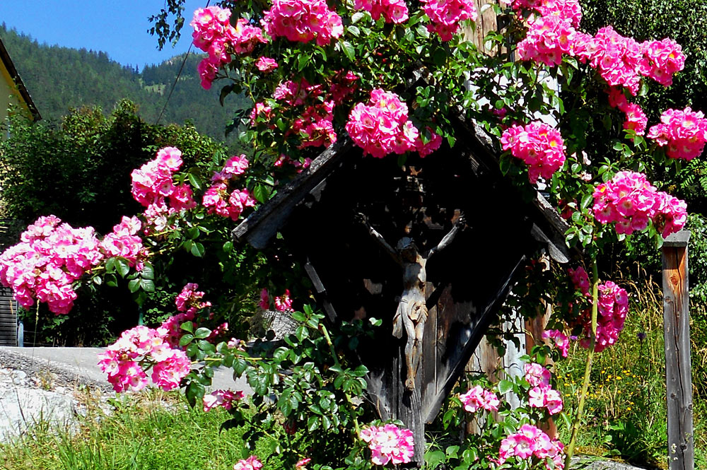 Blühender Rosenstrauch im Rosendorf Telfes im Stubaital