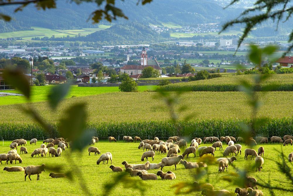 Blick auf Absam mit einer Schafherde im Vordergrund