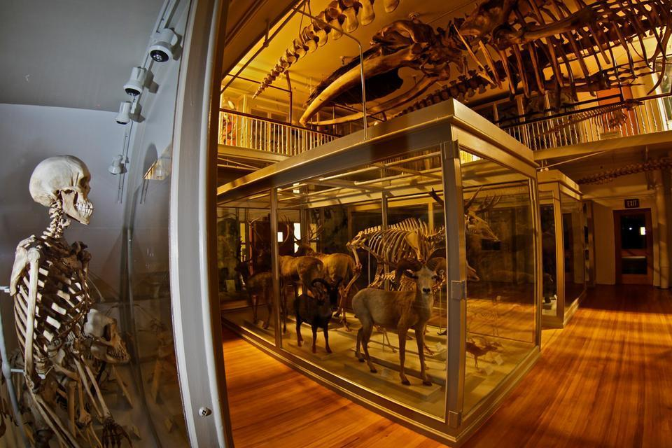 If you have the ability to access the Harvard Museum of Natural History at night, I wouldn't recommend exercising it. The sounds of creaking heating pipes and girders are all too perfect accompaniments to the macabre display.