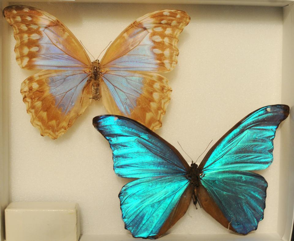 Although best known for his writing, Vladimir Nabokov also served for a time as curator of lepidoptera at Harvard's Museum of Comparative Zoology, where he first conceived his theory on the evolution of butterflies.