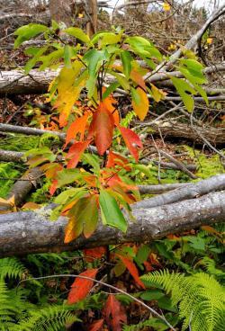 Forest Sassafras