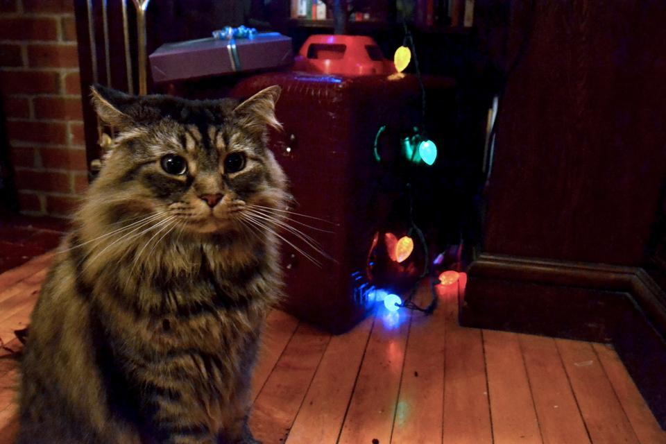 Boris Threlkeld, who lives with Adams House tutor Aubry Threlkeld, hangs out near their Christmas Tree after snacking on some Whisker Lickins. Boris went from homeless to Harvard about two years ago.