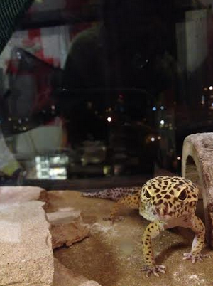 Laddy the Leopard Gecko