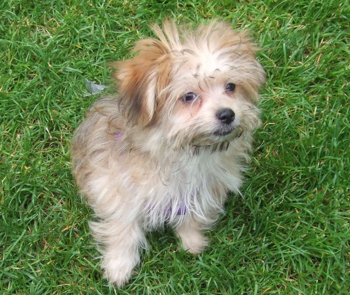Olivia A. Benowitz '09 adopted a Maltese-Pomeranian mix named Maisie the day she received her Harvard diploma.