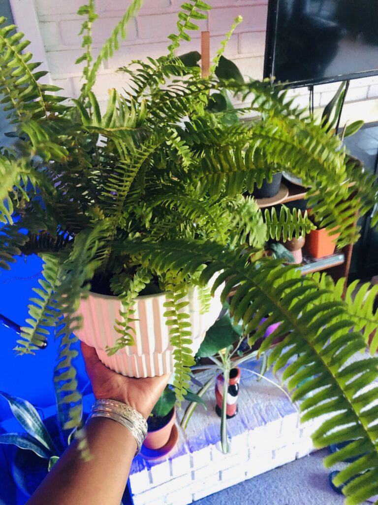 Creating Intentional Botanical Spaces- Boston Fern