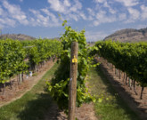 Earliest Harvest To Date for Tinhorn Creek Vineyards