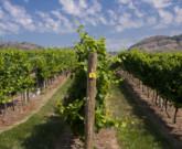 Earliest Harvest To Date for Tinhorn Creek Vineyards