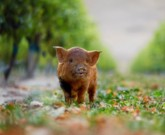 Kunekune pigs and babydoll sheep are sustainable helpers at Yealands Winery