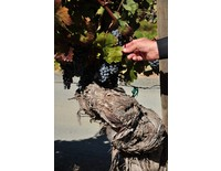 Vieux pied de vigne
