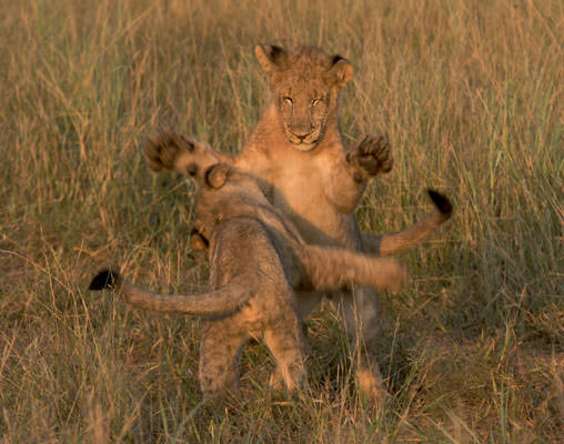 Lion cubs playing on the Madikwe Game Reseve