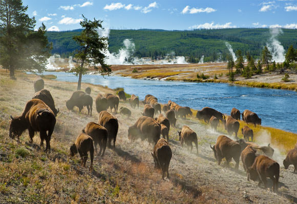 A herd of bison graze in Yellowstone National Park as geysers erupt in the distance.