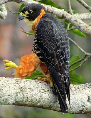 5d13e2fd9 falcão-de-peito-laranja ( Falco deiroleucus )