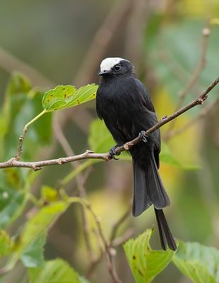 viuvinha (Colonia colonus) | WikiAves - A Enciclopédia das Aves do Brasil