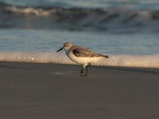 99a273631 ave migratória marcada com bandeirola que identifica o país
