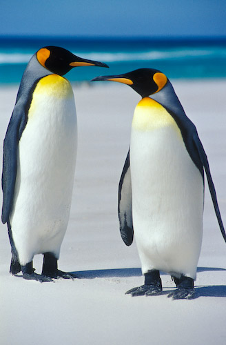Miller And Sons >> pinguim-rei (Aptenodytes patagonicus) | WikiAves - A ...