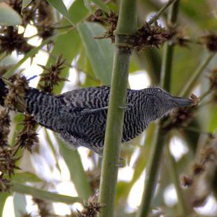 Santa Fe Altitude >> choca-do-bambu (Cymbilaimus sanctaemariae) | WikiAves - A ...