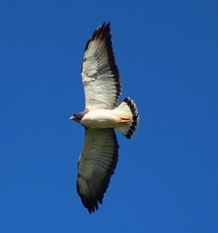 1a8a0d5a9 esta ave tem uma banda subterminal preta na cauda