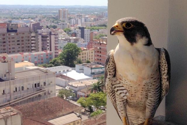 Foto falc o peregrino falco peregrinus por pedro coser for Https pedro camera it login