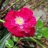 L.p._rose