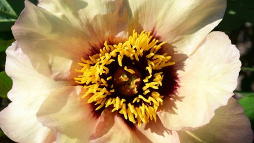Marchioness Peony