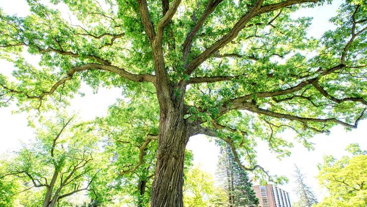 A swamp white oak tree on Hamilton's campus.