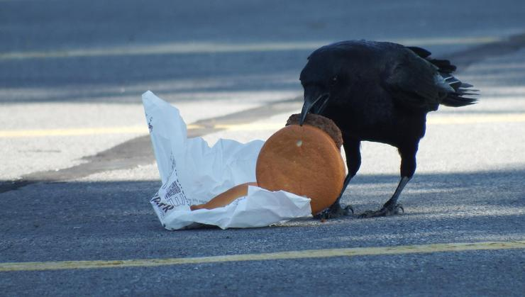 Crow with a discarded hamburger