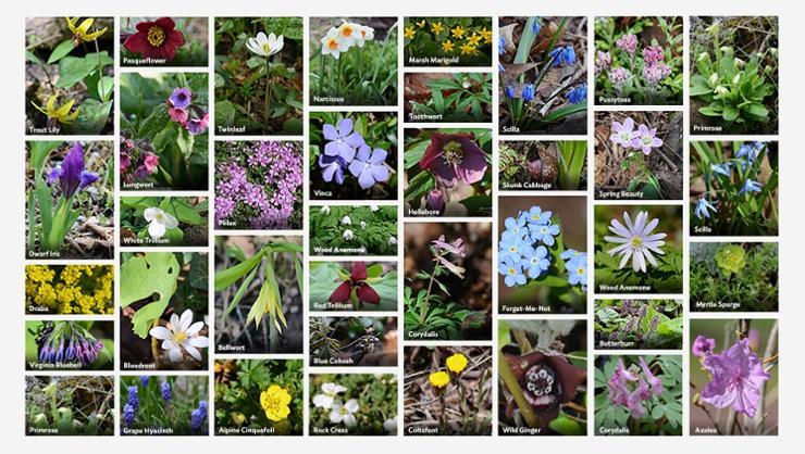 Root Glen wildflowers in bloom during the last week of April.
