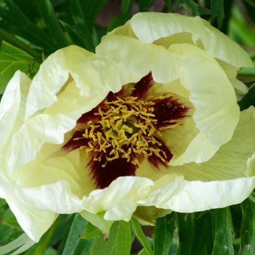 Brocade Peony