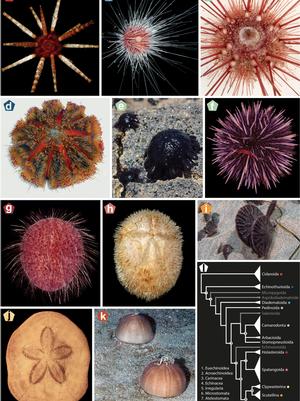 Coppard sea urchin tree of life article Jan. 25, 2019 image 1