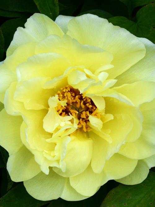 Daffodil Peony