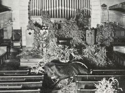 prank: cow eating hay in Chapel