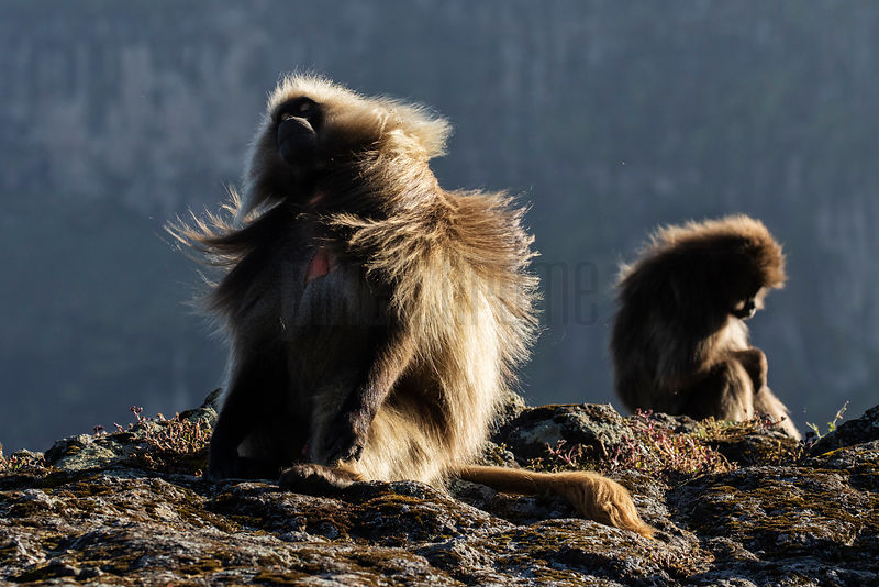 Male Gelada Shaking his Fur after Sunrise