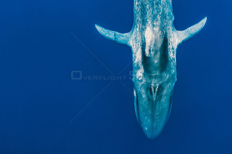 Blue whale (Balaenoptera musculus) diving in Indian Ocean, Sri Lanka. Digitally manipulated, left side extended.