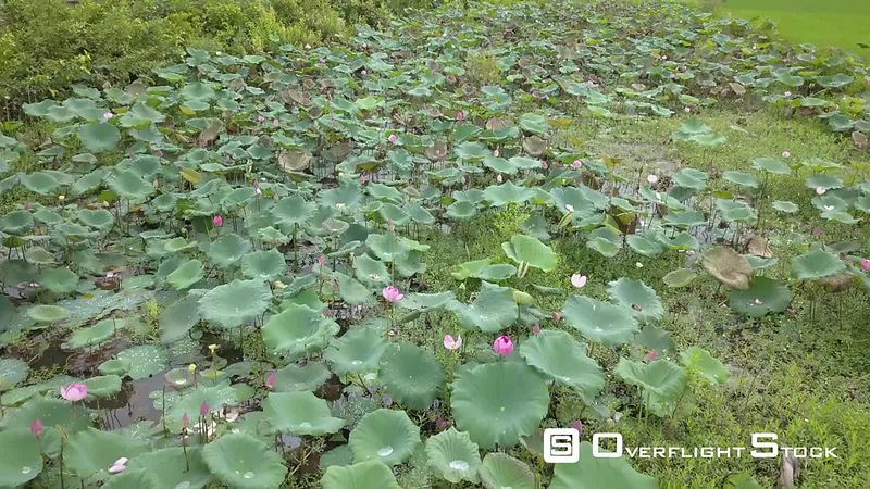 Aerial view of Water Lily in Champasak,filmed by drone, Laos